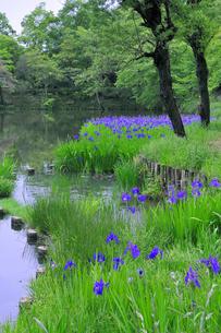 菖蒲が咲き誇る池の写真素材 [FYI00464412]