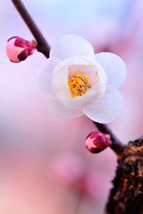 梅の花の写真素材 [FYI00464473]