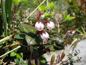 イワハゼの花の写真素材 [FYI00464585]