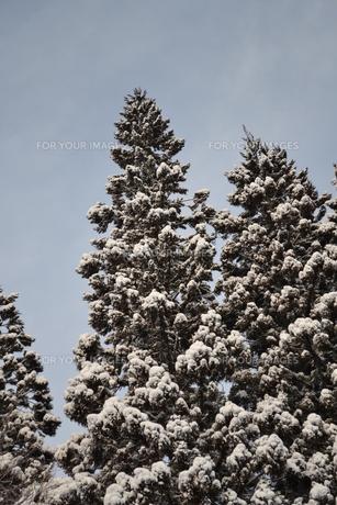 杉に雪の写真素材 [FYI00464588]