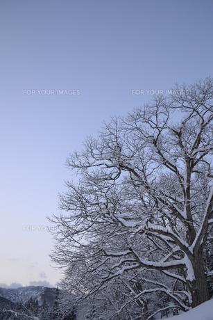 雪の大木の素材 [FYI00464705]