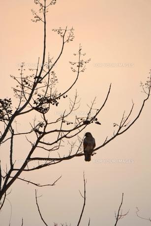 夕暮れの木立の写真素材 [FYI00464718]