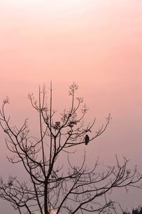 夕暮れに休む鷹の写真素材 [FYI00464726]