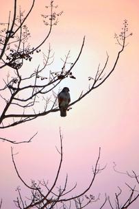 夕暮れに休む鷹の写真素材 [FYI00464729]