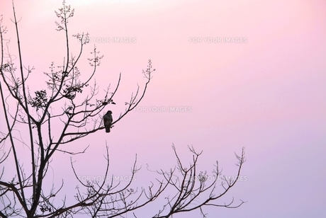 夕暮れの木立の写真素材 [FYI00464733]