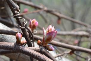 ヤマブドウの新芽の写真素材 [FYI00464873]