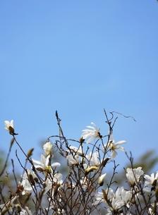 タムシバの花の写真素材 [FYI00464889]