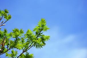 ナナカマドの新緑の写真素材 [FYI00464934]
