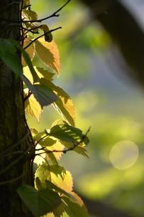 朝日を浴びる新緑の写真素材 [FYI00465000]