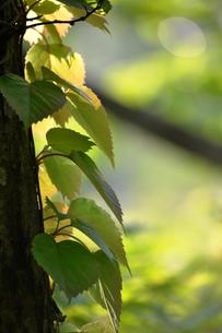 朝日を浴びる新緑の写真素材 [FYI00465001]
