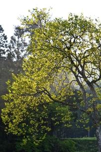 新緑と日の出の写真素材 [FYI00465002]