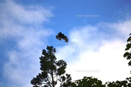飛び立つサシバの写真素材 [FYI00465029]