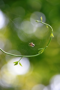 アケビの蔓に蜘蛛の巣の写真素材 [FYI00465072]