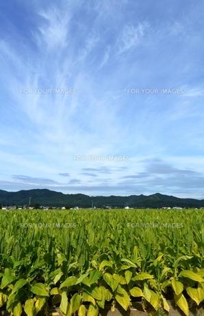 タバコ畑の風景の写真素材 [FYI00465118]