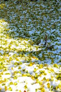 雪と銀杏の素材 [FYI00465198]