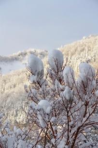 雪をかぶった楓の写真素材 [FYI00465223]