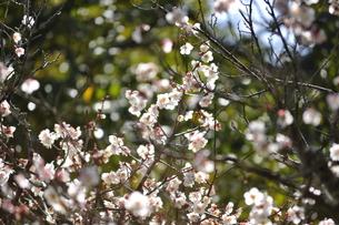 梅or桜の写真素材 [FYI00465252]