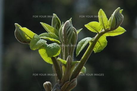 輝く木の芽の素材 [FYI00465348]