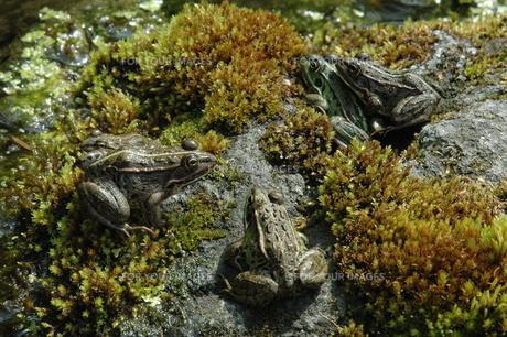 カエルの合唱の写真素材 [FYI00465368]