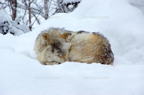 丸まって寝るシンリンオオカミの写真素材 [FYI00465410]