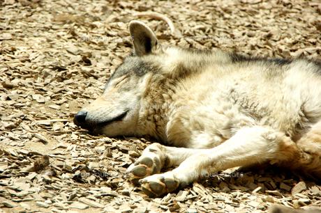 シンリンオオカミの寝顔の写真素材 [FYI00465425]