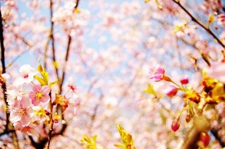 咲き始めた桜の素材 [FYI00465428]