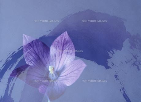 キキョウの花(紫)の素材 [FYI00466035]