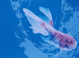 金魚とペインティングの合成の素材 [FYI00466045]