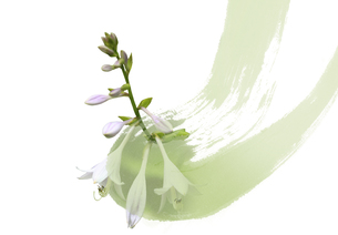 ギボウシの花の素材 [FYI00466119]