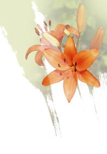オレンジ色の百合の素材 [FYI00466122]
