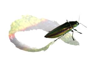玉虫の素材 [FYI00466136]