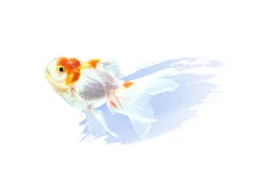 金魚の素材 [FYI00466138]
