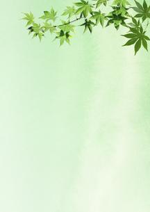 楓の青葉の写真素材 [FYI00466155]