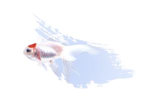 金魚の素材 [FYI00466161]