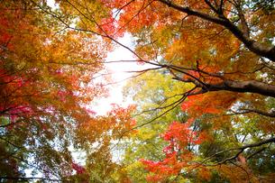 秋の紅葉の神戸再度公園の写真素材 [FYI00467235]
