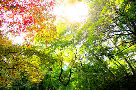秋の紅葉の神戸再度公園の写真素材 [FYI00467243]
