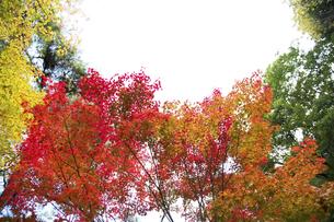 秋の紅葉の神戸再度公園の写真素材 [FYI00467247]