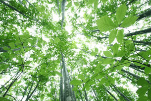 下から見上げたブナ林の新緑の写真素材 [FYI00469454]