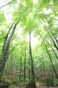 ブナ林の新緑の写真素材 [FYI00469462]