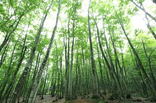 ブナ林の新緑の写真素材 [FYI00469477]