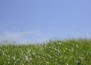 蝶の舞う江戸川緑地の写真素材 [FYI00470039]