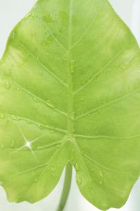 水滴のついた葉の写真素材 [FYI00470173]