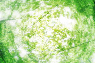 新緑の葉と木漏れ日の写真素材 [FYI00470177]