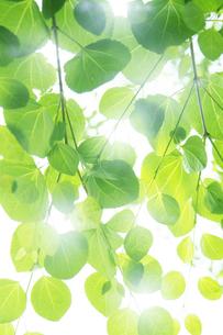 新緑の葉と木漏れ日の写真素材 [FYI00470182]