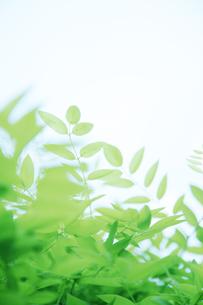 新緑の葉と木漏れ日の写真素材 [FYI00470184]