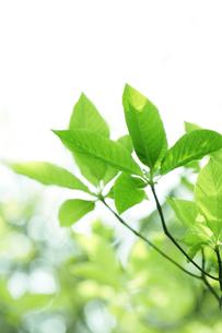 新緑の葉と木漏れ日の写真素材 [FYI00470185]