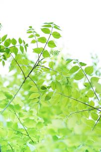 新緑の葉と木漏れ日の写真素材 [FYI00470191]