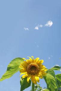 向日葵と空の写真素材 [FYI00470198]