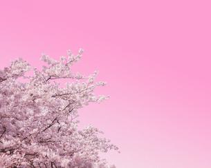 桜の写真素材 [FYI00470210]