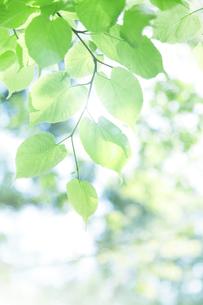 新緑の葉と木漏れ日の写真素材 [FYI00470214]
